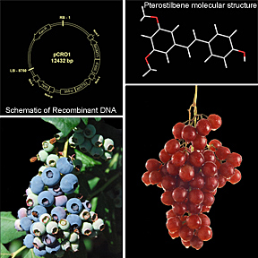 Photo: Composite of four images clockwise from left top: Schematic of Recombinant DNA, Pterostilbene molecular structure, red grapes, blueberries. Link to larger photo.