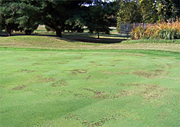 Photo: A putting green with dead patches of basal rot anthracnose.