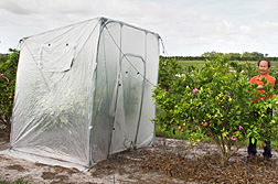 Photo: ARS plant pathologist Yongpin Duan examines a citrus tree that was heat treated under a tent like the one to the left. Link to photo information