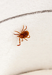 Lone star tick (Amblyomma americanum). Link to photo information