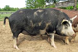 Un cerdo de pura sangre de la raza Ossabaw. Enlace a la información en inglés sobre la foto