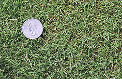 Photo: Creeping bentgrass.
