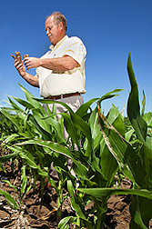 Photo: ARS soil scientist Gary Varvel examines a corncob residue in a corn field. Link to photo information
