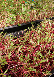 Photo: Two types of microgreens being grown in an ARS lab for nutrient testing. Link to photo information