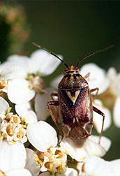 Photo: Western tarnished plant bug (Lygus Hesperus).