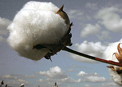 Photo: Upland cotton boll.