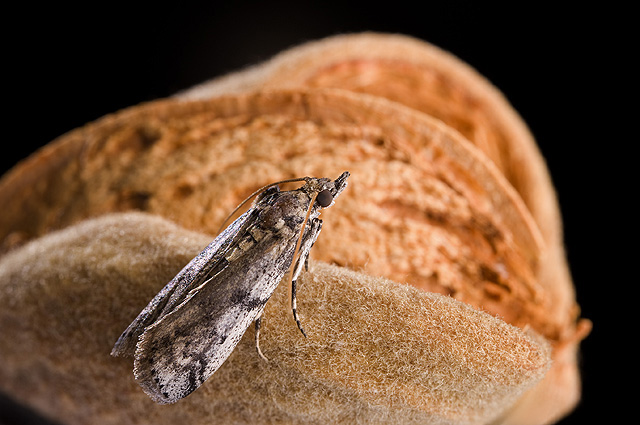 Adult navel orangeworm moth on almonds.