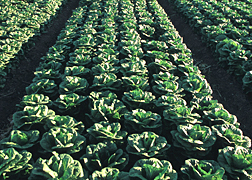 Photo: Rows of Romaine lettuce in a field.