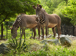 Photo: Two zebras at the National Zoo. Link to photo information