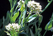 Alpine pennycress.