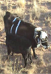 Photo: Cow and calf. Link to video of cows.